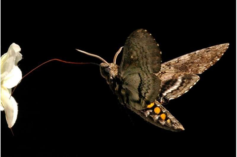 Nighttime Pollinators and Light Pollution